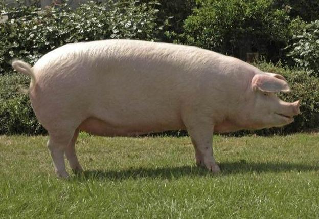 """克隆猪技术""""把根留住"""" 助力本地猪保种繁育!"""