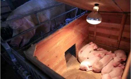 8月28日20公斤仔猪价格,数量少,三元母猪产仔体重不均怎么办?