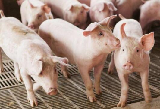 新希望集团年出栏10万头生猪一体化项目落户曲周