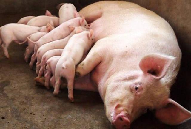 如果临产母猪破羊水但半天都没有产猪,怎么办?谈谈我的处理思路