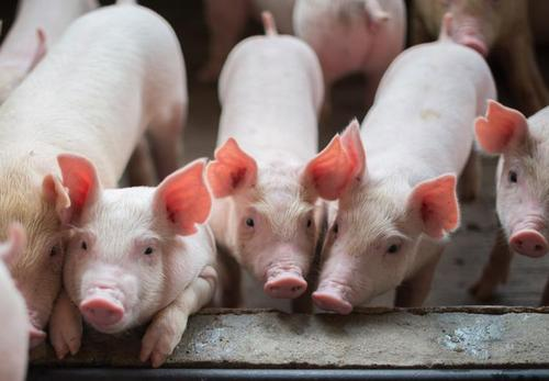 养殖补偿+加大投资 广东生猪产能恢复情况良好