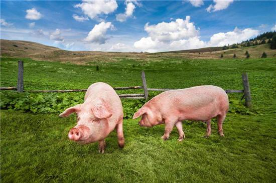 种猪群要有即定的母猪淘汰方法,母猪的淘汰标准及常见问题有哪些?
