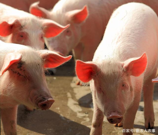 大学生考研后回老家养猪,年收入数百万,四川南部县的小伙火啦