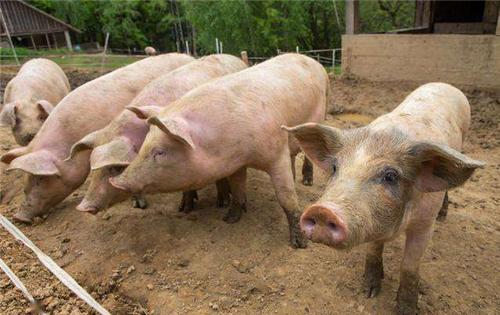 猪反复发烧是什么原因?告诉你症状以及防治措施!