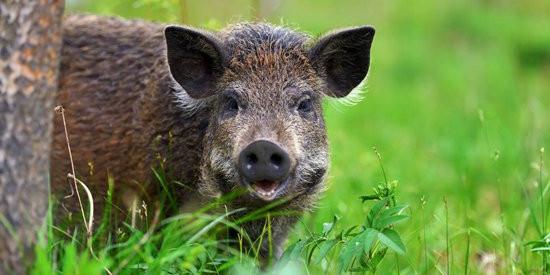 范卫彬:雨季过后,非洲猪瘟疫情为何还如此频发?