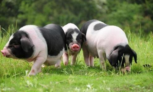 屠企收购顺畅 生猪短期行情或继续降