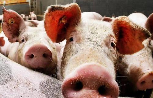 现在猪肉价格这么高,为何很多散养户却在退出养猪行业呢?