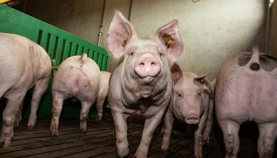 覆盆子对仔猪的采食量提升和生长性能改善有明显作用