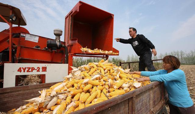 临储拍卖溢价缩水,玉米价格难上涨?新玉米上市,会有新变化?