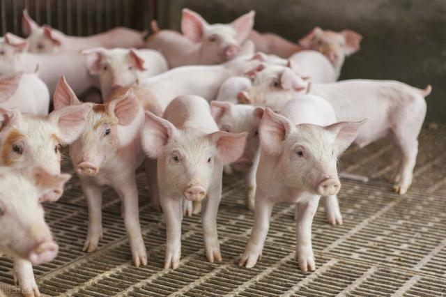 养猪第一股牧原股份55个养猪厂修建项目叫停,涉侵占1.5万亩农田