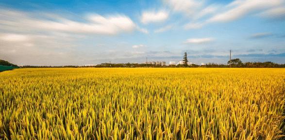吉林大安一粮库竞拍玉米有大量虫眼 中储粮回应