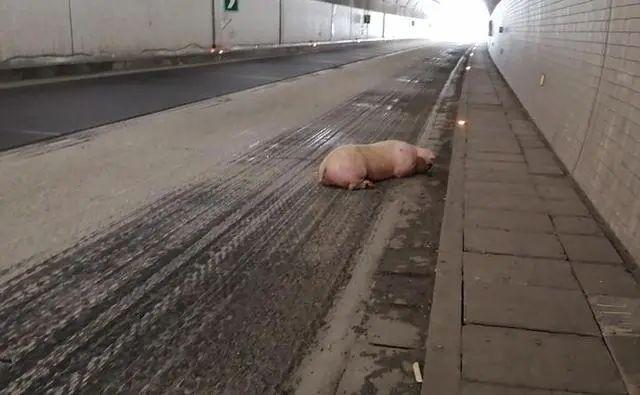 """两头400斤重的大肥猪""""越狱""""后漫步高速公路,隧道因此临时截流!"""