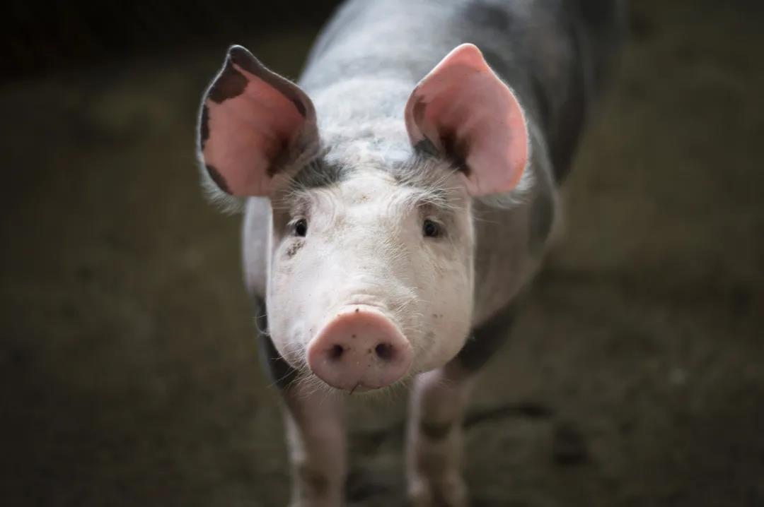 怎样得到入口即化的美味猪肉?喂猪喝日本烧酒