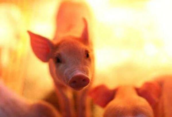 8月31日全国10公斤仔猪价格表,山东张店外三元仔猪价格为800元每头!