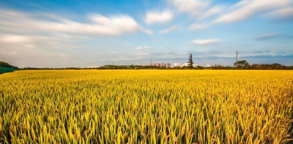 牧原集团占1.5万亩基本农田建养猪场 与节约粮食背道而驰