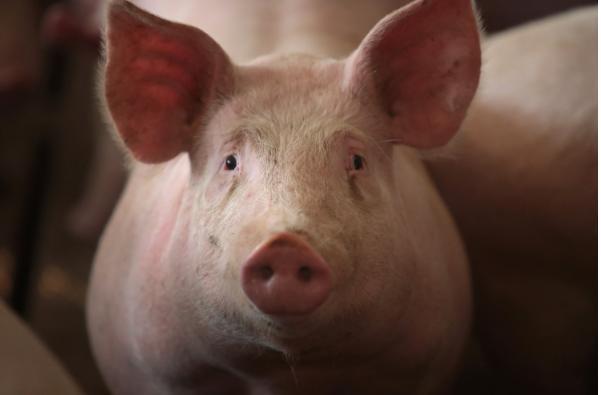猪场占农田被叫停,仔猪成本每头超2000元,散户退出猪企扩张