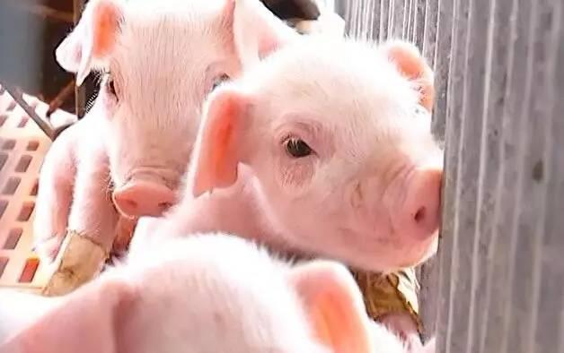 9月1日15公斤仔猪价格,引导空栏复养,秋季养猪需注意什么?