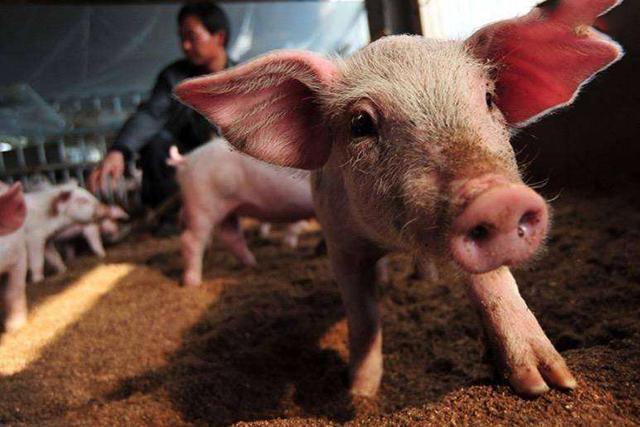 9月1日全国10公斤仔猪价格表,局部仔猪价格小调,整体价格高位运行!