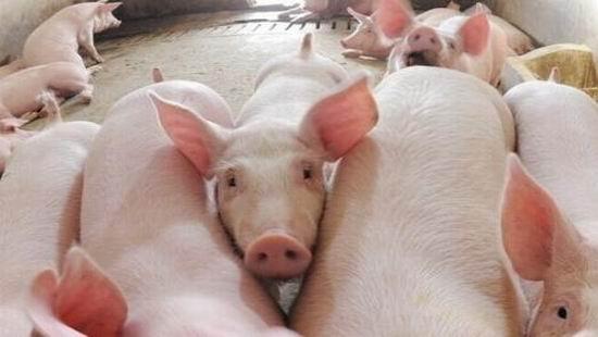"""四川:优秀职业农民""""返乡办猪场 带领乡亲共致富"""