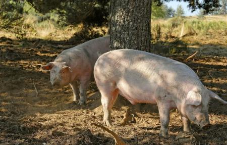 """浙大新研究聚焦""""猪与田的分离"""":当大量牲畜粪便未能变肥料"""