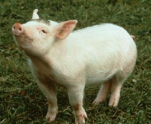 9月3日全国20公斤仔猪价格表,仔猪价格普遍高于2000元/头!