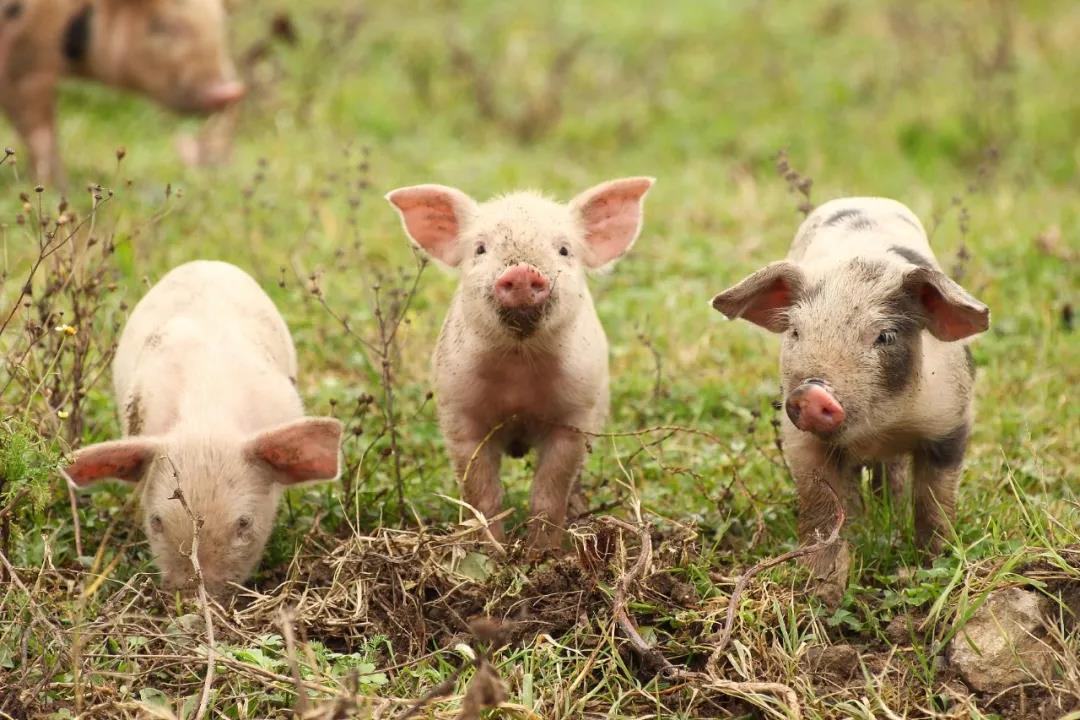 猪价暴涨暴跌?猪价拐点即将到来!
