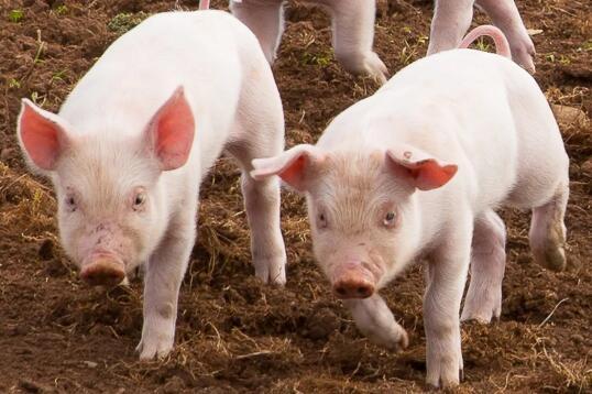 猪价下行拐点将至!分析师预计年底猪价或降至...