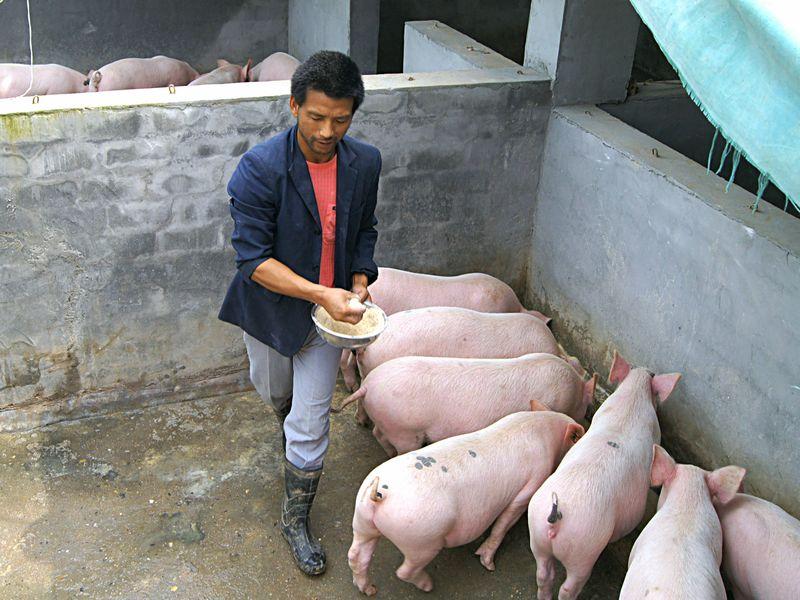 猪场预防中毒,这三种食物不能喂猪