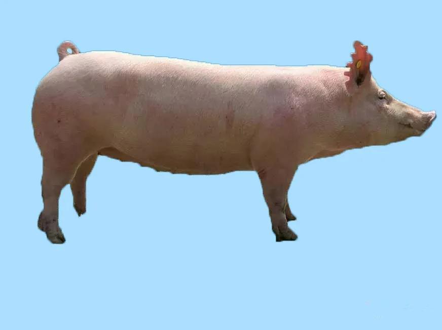 提高母猪受胎率,你还可以从这些方面入手!