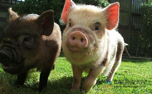 9月第一周活猪价格较前一周下降0.3%!仔猪均价为109.07元/公斤!
