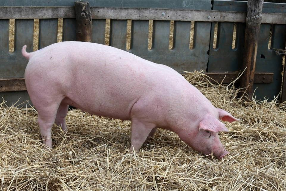 正邦2020年计划引进10000头国外种猪,打造全球最优秀种猪公司