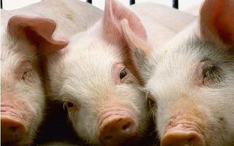 甘肃首次引进种猪入境 改良本土品种增强猪肉供应