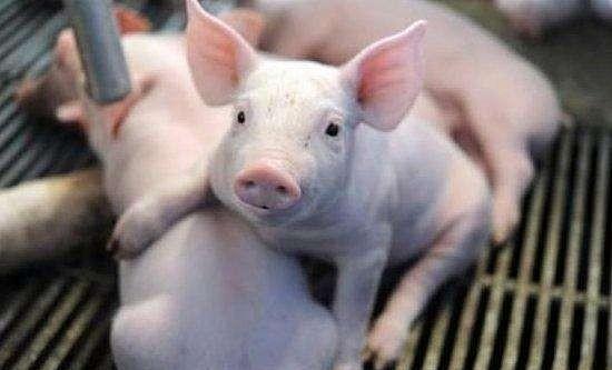 """9月9日20公斤仔猪价格,价格风向改变,仔猪要走""""下坡路""""了?"""