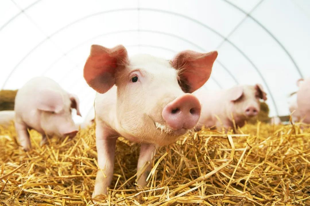 现在养猪能赚2000元一头,近期猪价如何?国庆猪价能大涨吗?