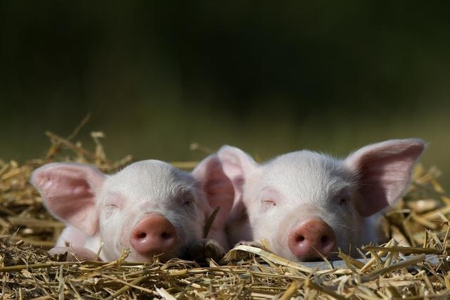"""环保政策改革为养猪业""""松绑"""" 柳州落实生猪保障部署"""