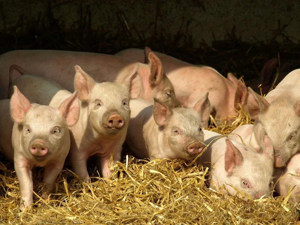 猪价跌至4-5元每斤是夸张说法还是真能实现?