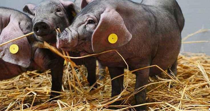 养猪场如何选择一套智慧养殖方案?