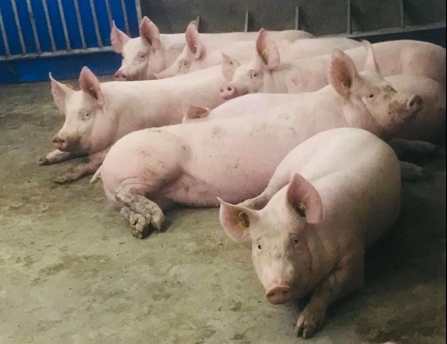 陕西安康:市农业农村局来旬阳调研生猪生产情况