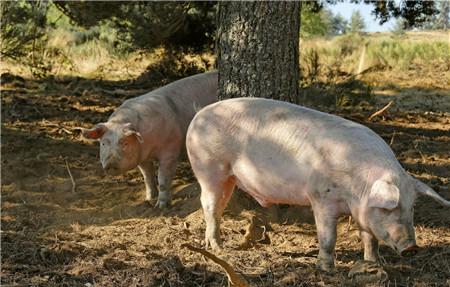 """农业农村部:将坚持把生猪稳产保供作为""""三农""""工作的重点任务"""