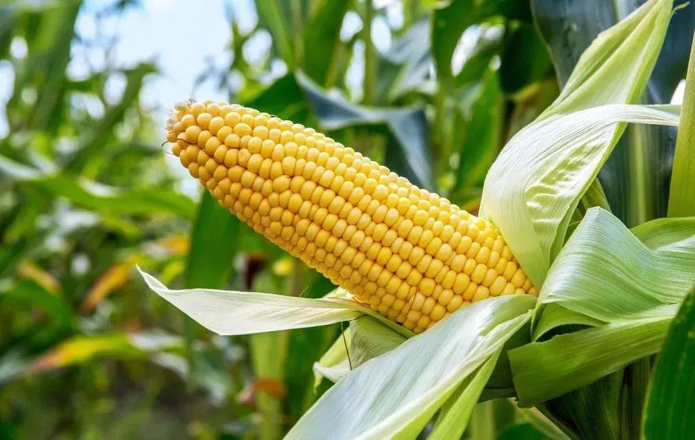新玉米1.07元开出秋粮收购第一高价,美豆遇40年来最长涨势......