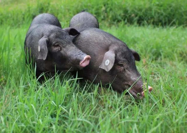 猪肉价格没崩,猪肉股要被唐人神老板带崩了?