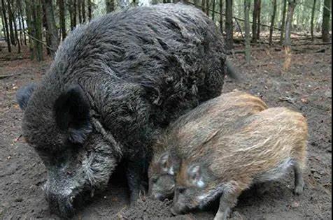突发!德国首例非洲猪瘟!中国、韩国进口德国猪肉情况如何?