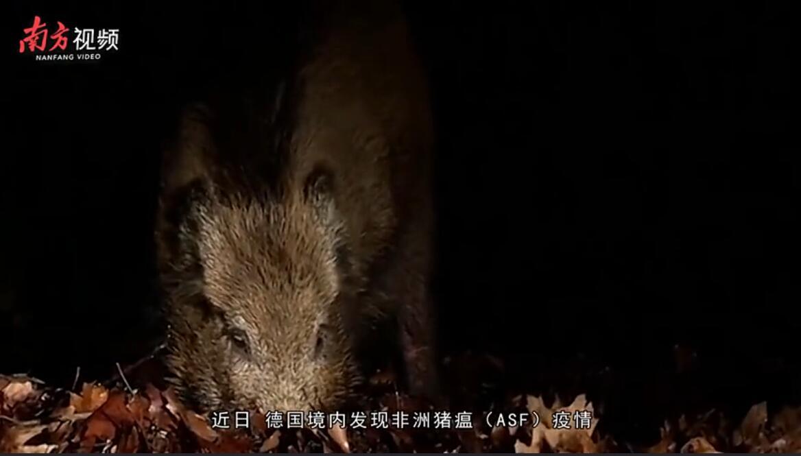 德国现非洲猪瘟引发养猪业担忧:若中国暂停进口,损失极大