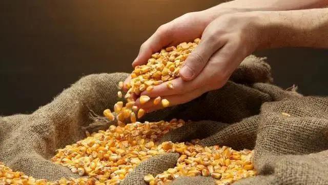 9月13日全国玉米价格行情,玉米市场稳中偏强运行,部分地区玉米价格出现反弹迹象!