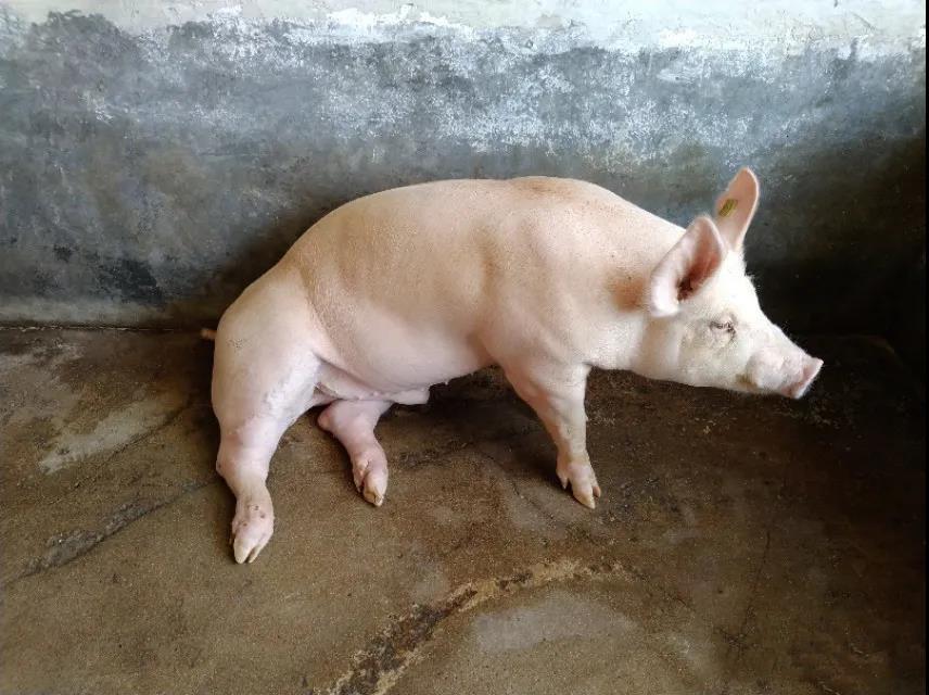 公猪脚痛、脚瘸、站不起来,是由细菌感染造成关节炎,用对了方法,一针见效!