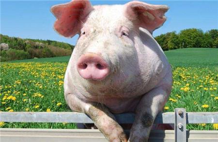 数据显示我国生猪产能持续向好 畜牧业生产逐渐恢复