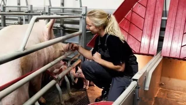 """1人管2500头猪,""""世界上最会养猪的国家""""这样养猪!"""