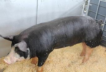 9月14日全国15公斤仔猪价格表,江苏东海15公斤外三元仔猪价格为2550元/头!