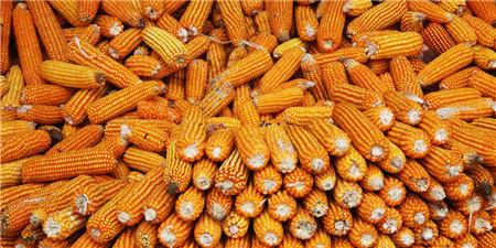 减产引发市场炒作热情 玉米期货价格创6年新高
