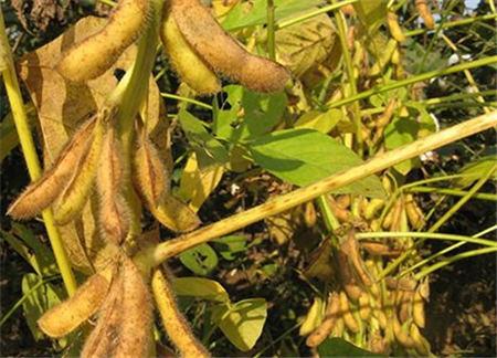 9月15日饲料原料:玉米豆粕都在震荡调整,但继续深跌可能不大